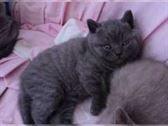 regalo british shorthair