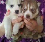 Varón y hembra los perritos Husky siberiano