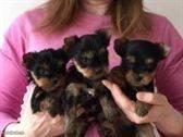 cachorros de Yorkshire Terrier machos y hembras