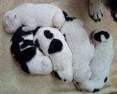 Cachorros american stanford