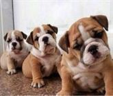 Regalo CACHORROS disponibles de bulldog inglés