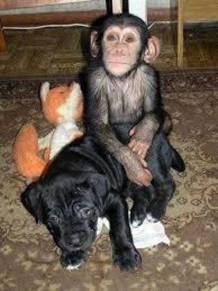Monos adorables del chimpancé del bebé para la venta