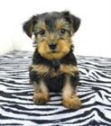 preciosos cachorros yorkie disponibles