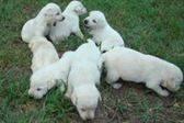 Pedigree Labrador retriever cachorros con disparos
