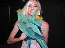 !!! Nuevo !!! azul y oro guacamayo aves muy saludable