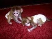 capuchino y el mono tití para su aprobación