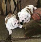Los cachorros voluminosos e hinchada Bulldog Inglés necesita