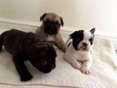Los bebés de calidad del bulldog francés