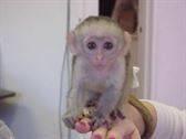 Lindo monos capuchinos disponibles