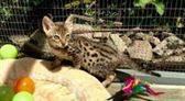 Impresionantes gatos F5, F6, F7 Sbt Savannah para adopción
