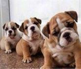 Regalo CACHORROS disponibles de bulldog inglés